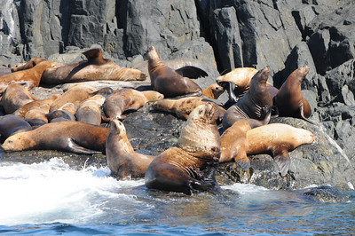 DSC-9961 - Steller sea lions at Bright Island.
