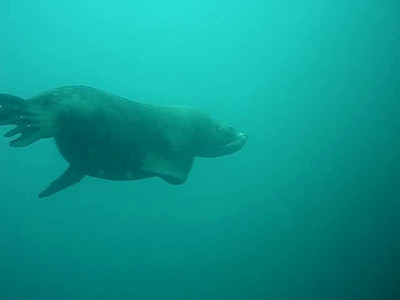 Mature male Steller sea lion visitation. Mature males can be 1,000 kg+.