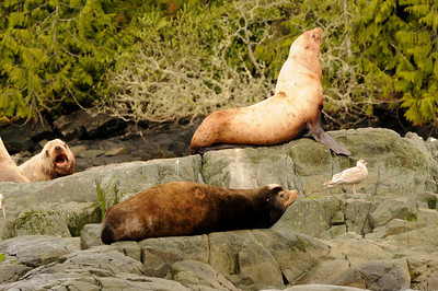 © 2012 Jackie Hildering-4169 - Photo showing contrast between California sea lion (lower) and Steller sea lions.