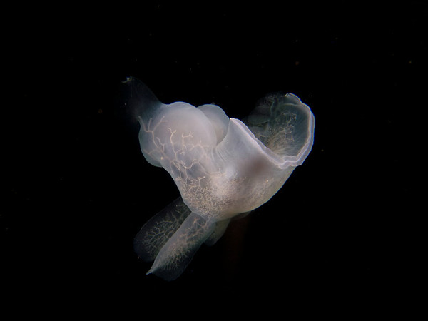 Hooded nudibranch - the branching white lines are the animal's nerves and digestive ducts. The structures on the lower side are the animal's gills (cerata).